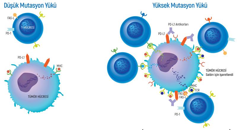onkogenetiks-dusuk-yuksel-mutasyon-yuku